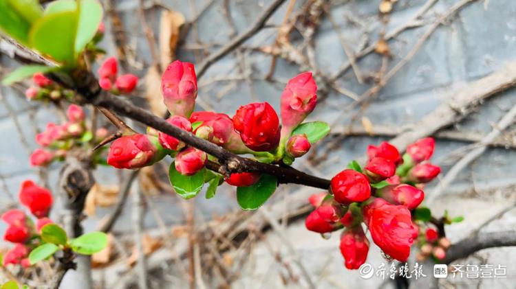 济南大明湖公园的海棠即将绽放,你期待吗