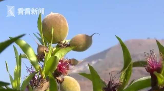 视频 云南东川:沪滇协作林下经济图片