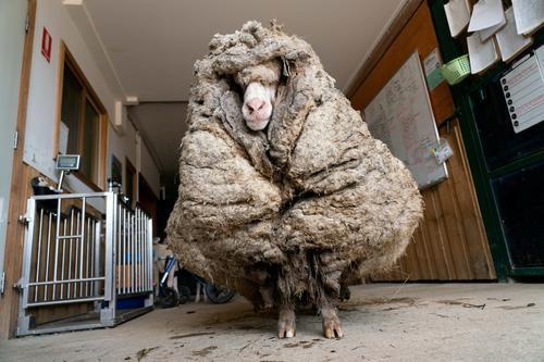 """""""瘦身""""成功!澳大利亚一只绵羊剪下35.4公斤羊毛"""