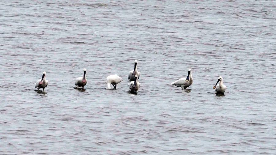 国家一级保护野生动物黑脸琵鹭现身霞浦福宁湾湿地