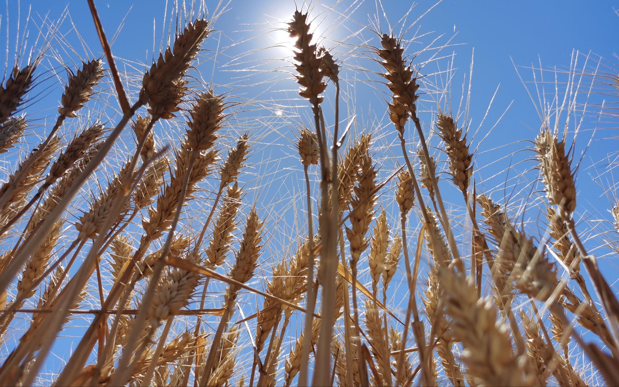 两大口粮小麦水稻品种自主率100%怎么做到的图片