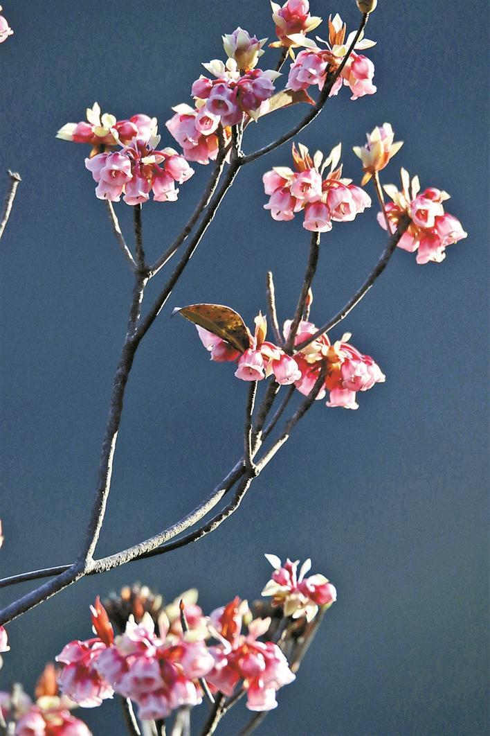 吊钟花花形宛如一个个倒挂的小金钟,深受游客喜爱。