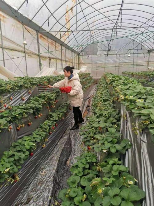 文成县开展节前草莓质量安全专项抽检工作