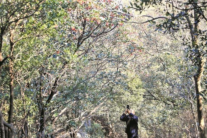 绽放的红花荷吸引游客一早上山拍摄。