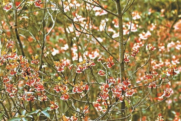 吊钟花有很多不同的花色,将梧桐山的早春装点得五彩斑斓。
