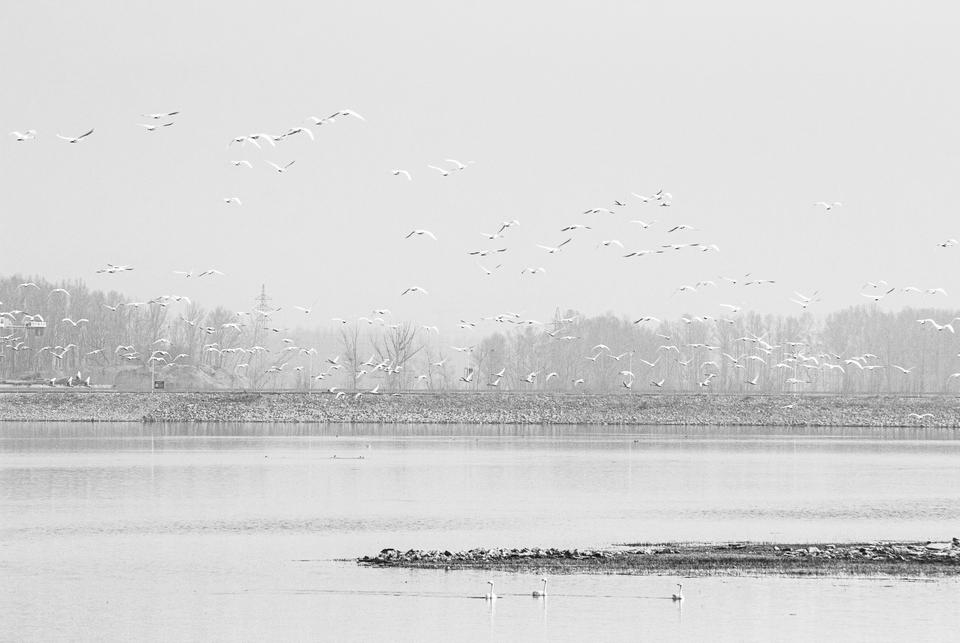 回迁天鹅在广灵县下河湾水库栖息