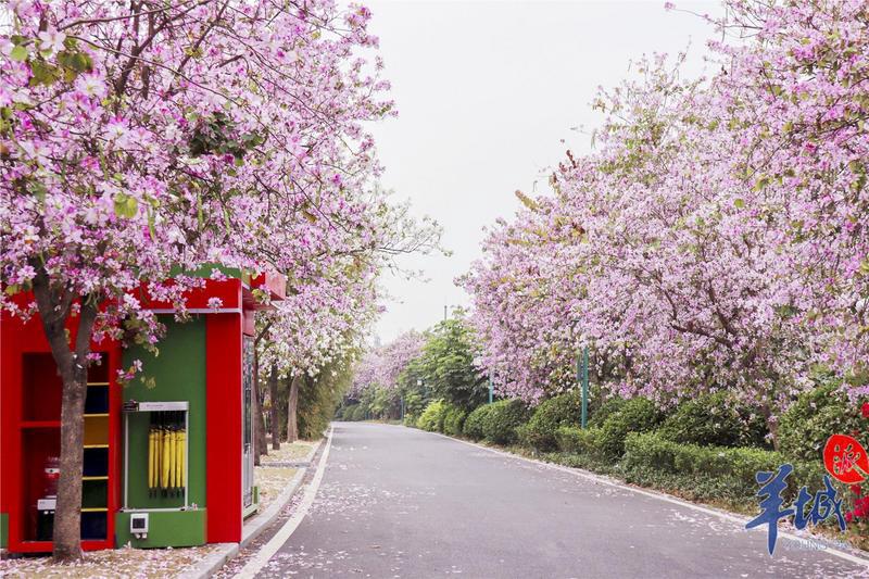"""【街拍】来春日花城,入一场""""粉紫色梦境""""!"""
