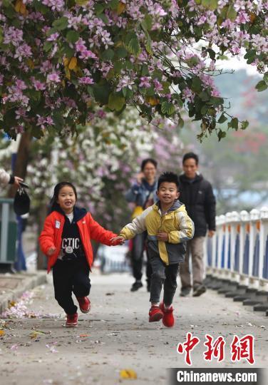 小朋友在紫荆花下奔跑。 朱柳融 摄