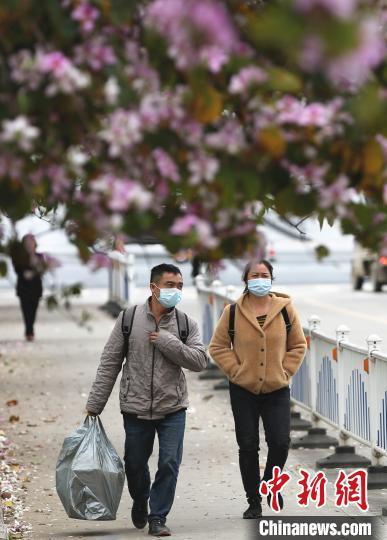 """紫荆花下,民众宛若走在""""花路""""上。 朱柳融 摄"""