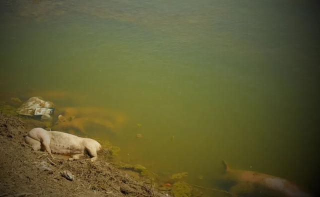 视频|触目惊心!黄河大堤内哪来这么多死猪?图片