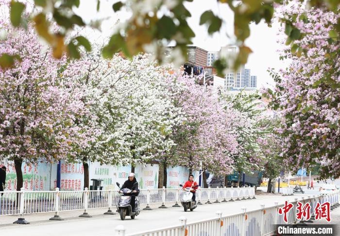 广西柳州市柳江区新站路紫荆花寒风中绽放。 朱柳融 摄