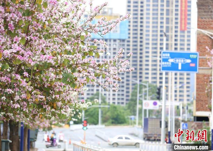紫荆花在枝头绽放。 朱柳融 摄