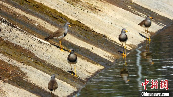 灰頭麥雞屬于候鳥,以蚯蚓、昆蟲、螺類等為食,常活動于生態環境較好的湖畔、沼澤地、草地等開闊地帶。 宋建國 攝