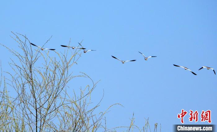黃色的腳和飛行時翅膀上的白色三角形是灰頭麥雞的顯著特征。 宋建國 攝