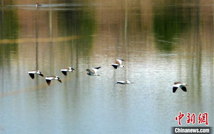 山西長治沁縣首次發現瀕危鳥類灰頭麥雞。 宋建國 攝