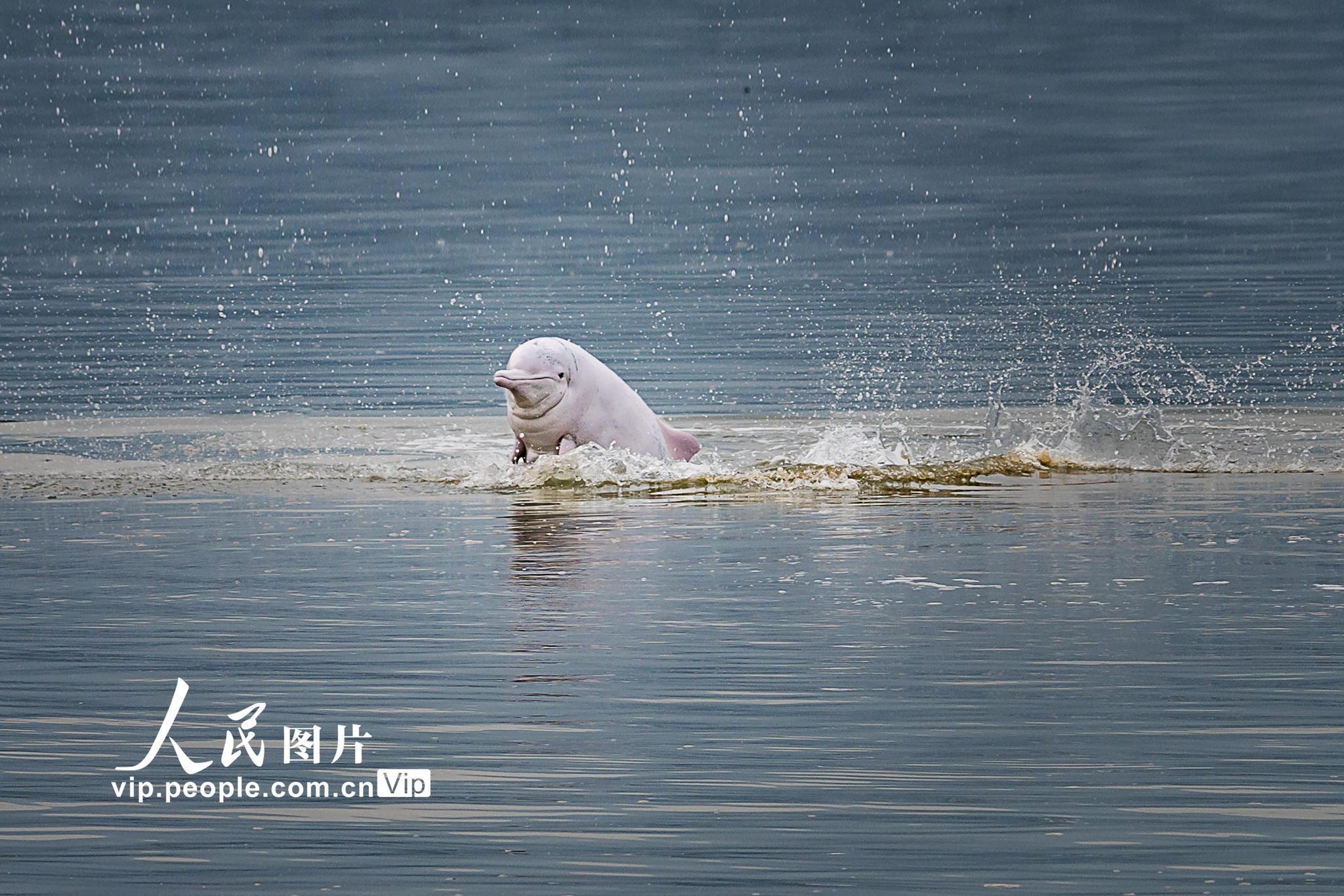 福建霞浦:中华白海豚嬉戏玩耍 场面温馨