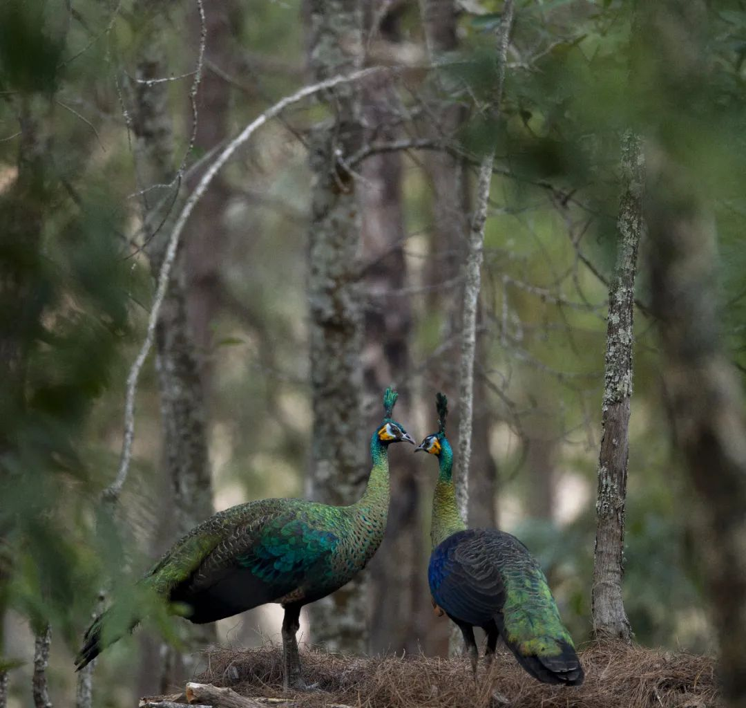 云南全力保护绿孔雀种群及其栖息地