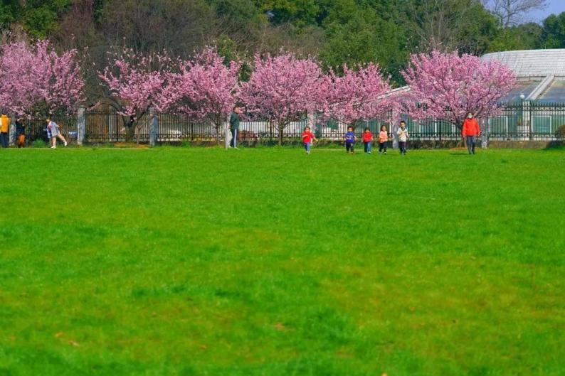 武汉樱花何时能够大规模开放?预计3月中旬左右图片