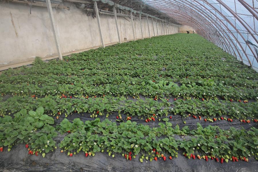 新疆察布查尔县:大棚草莓乐了游客 甜了农民的心