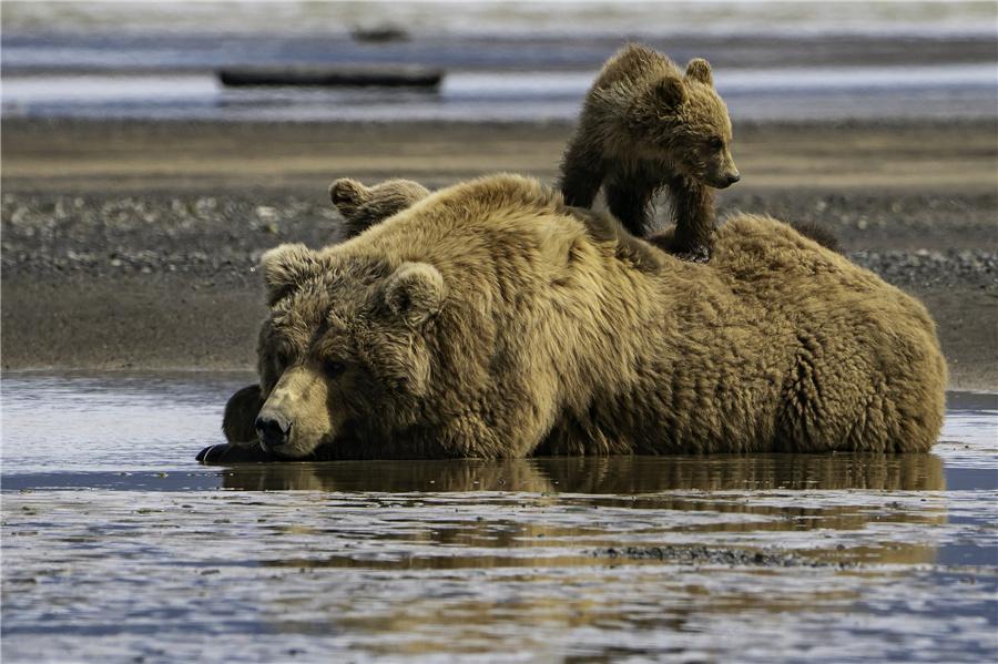 """美国:母熊携幼崽齐齐看向镜头 宛若微笑拍摄""""全家福"""""""