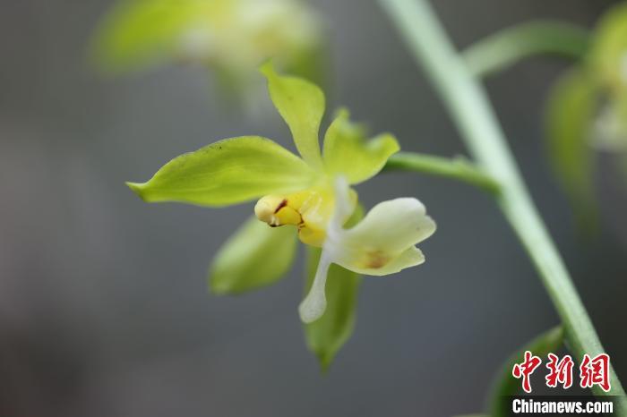 """重庆发现植物新物种 被命名为""""巫溪虾脊兰"""""""