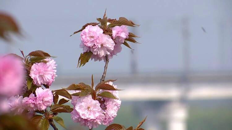 43秒|粉色花开铺春光 齐河黄河二道坝樱花烂漫迎游人