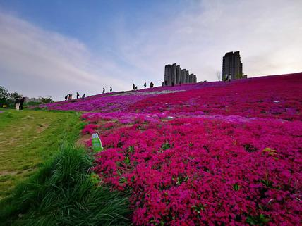 济南凤凰路上的福禄花海,万紫千红,让你眼花缭乱,意醉情迷
