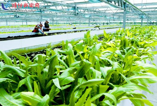 坊子区发展现代农业加快乡村振兴