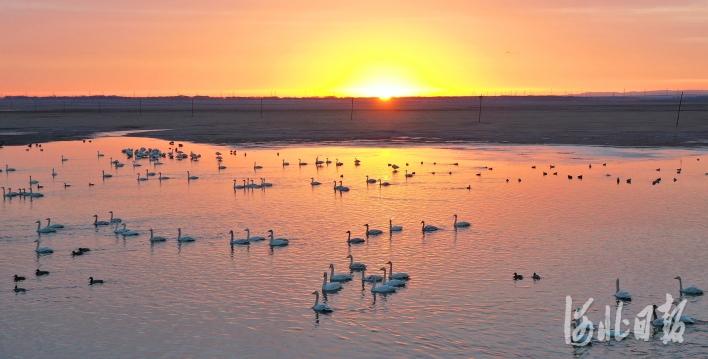 """河北张家口:湿地公园成了""""候鸟天堂"""""""