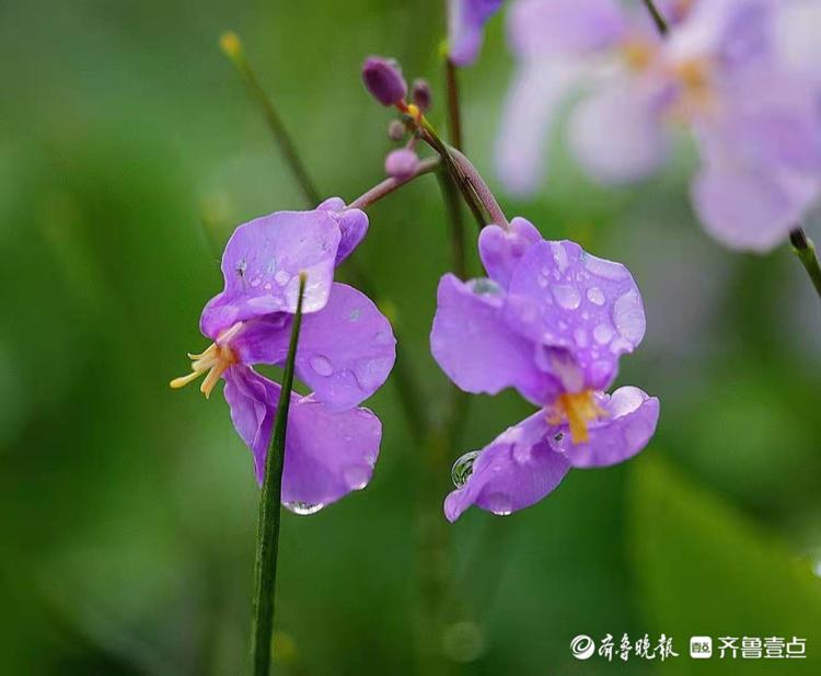 华山公园的二月兰,娇翠欲滴赏心悦目