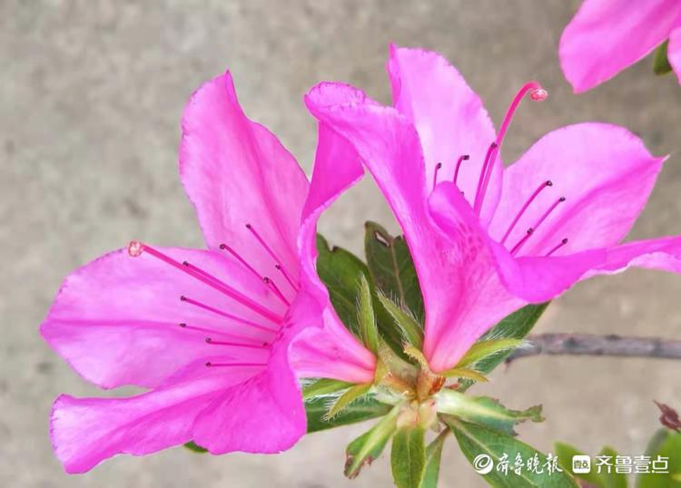 鲜艳的红杜鹃,象征着幸福美好生活