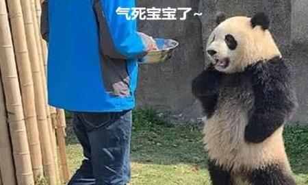 饲养员前来喂食,一只大熊猫双手叉腰拦住去路:迟到了你知道吗