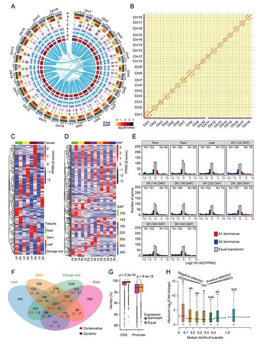 研究揭示木薯单体型基因组进化及功能分化规律