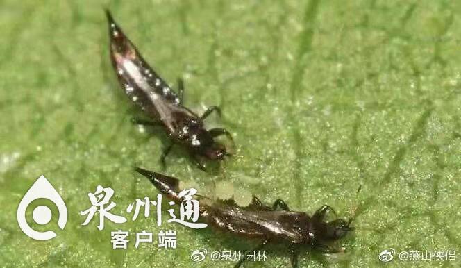 """泉州新门街绿化树下飘着""""虫子雨"""",到底怎么回事?"""