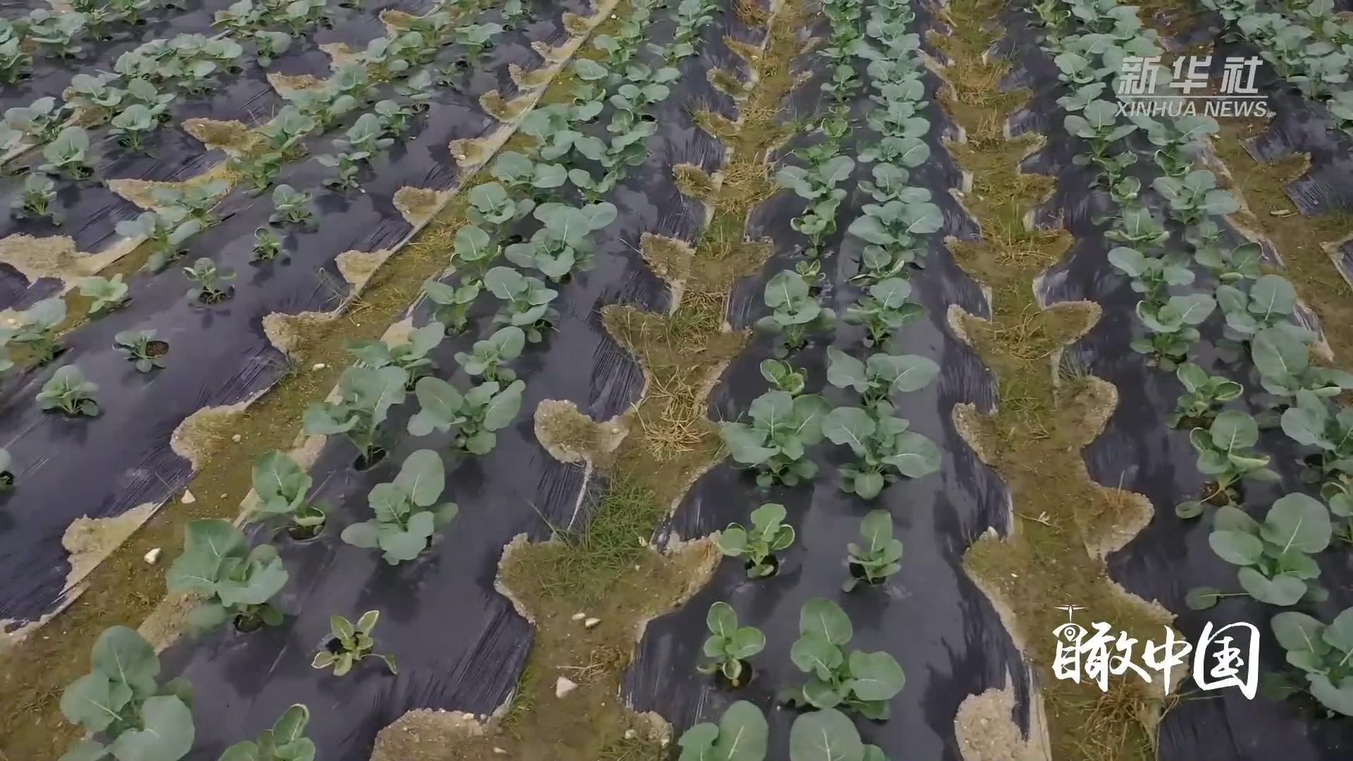 瞰中国·春意满中国|福建寿宁:高山农业促脱贫