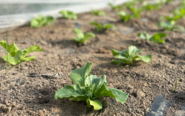 北方头茬圆生菜将于5月上市 河北新发地打通产供销渠道