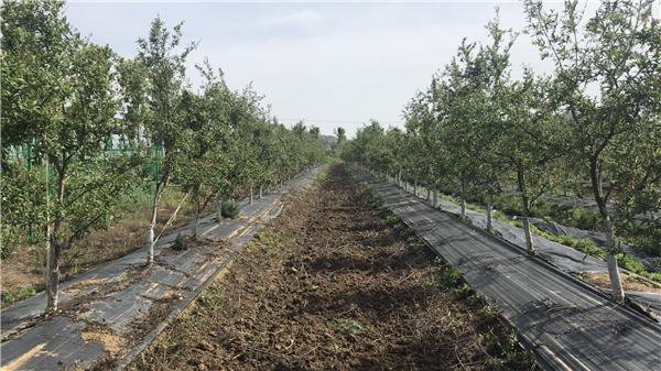 """南水北调生态环境下的产业转型 软籽石榴树变成""""摇钱树"""""""