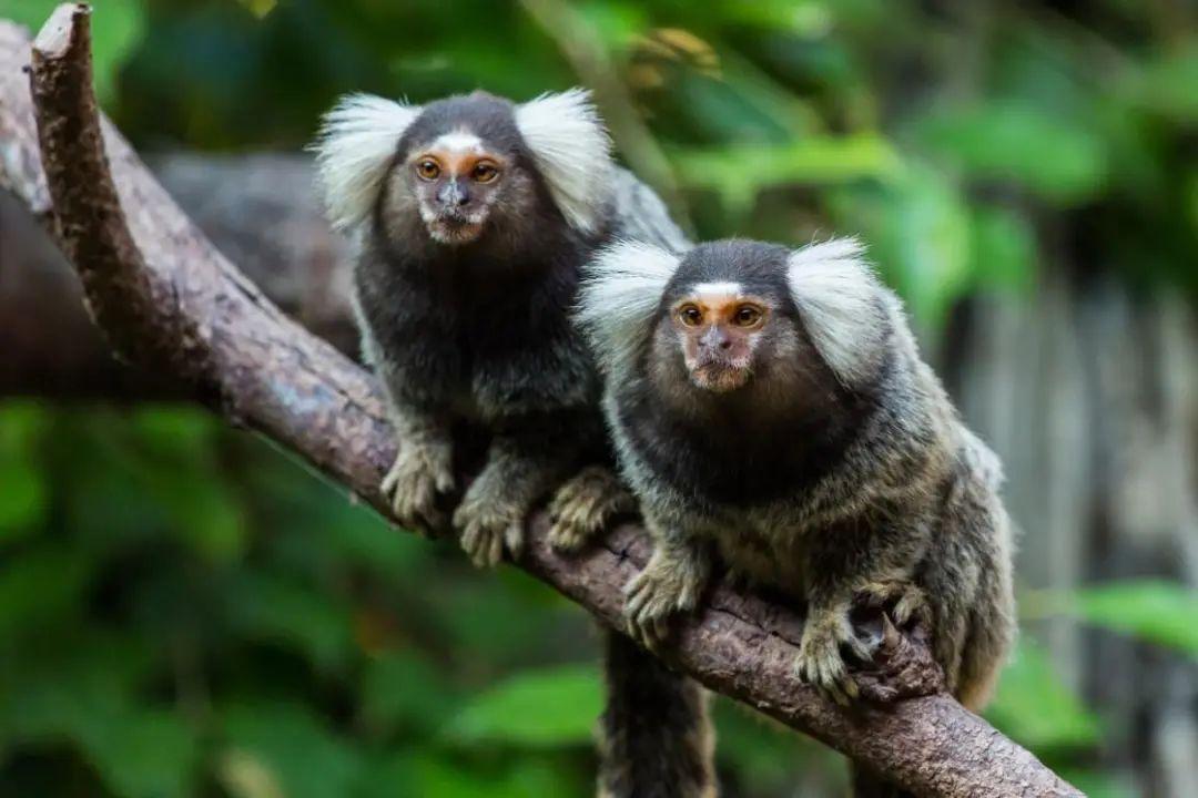"""华大研究院解密狨猴二倍体遗传信息差异,提出""""完美基因组""""新标准"""