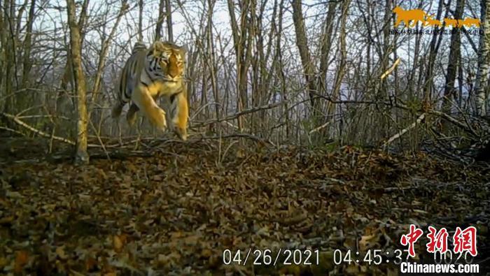 中国罕见拍到野生东北虎捕猎视频 专家:不惊扰才能更好保护