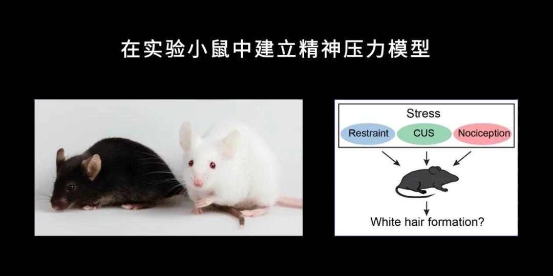 我们知道精神压力会让头发变白,但没想到白发可能黑不回来了