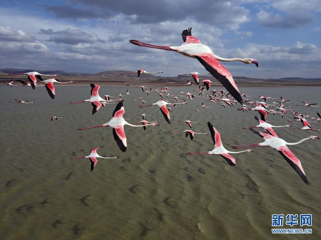 粉红火烈鸟群掠过莫甘湖 场面壮观