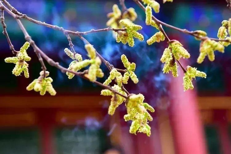 直播预告|青城这棵三百年的菩提树开花了!明天来直播间许下你最美好的愿望!