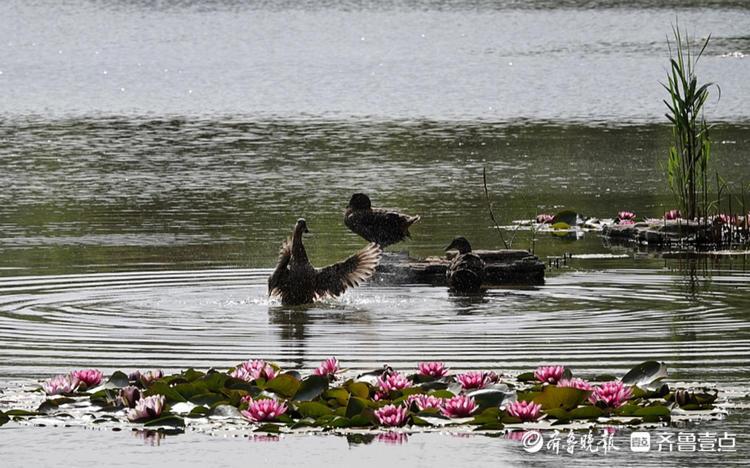"""早起散步,小鸭在湖面上""""洗漱"""""""