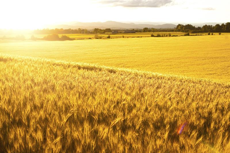 国家粮食和物资储备局:今年夏粮生产基础较好 预计收购量稳中略增图片