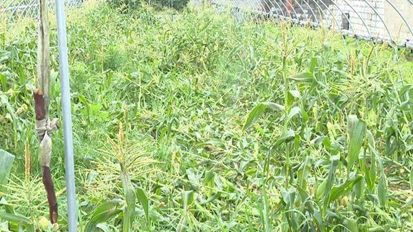 强对流天气带来狂风暴雨 嵊州市部分农作物不同程度受损