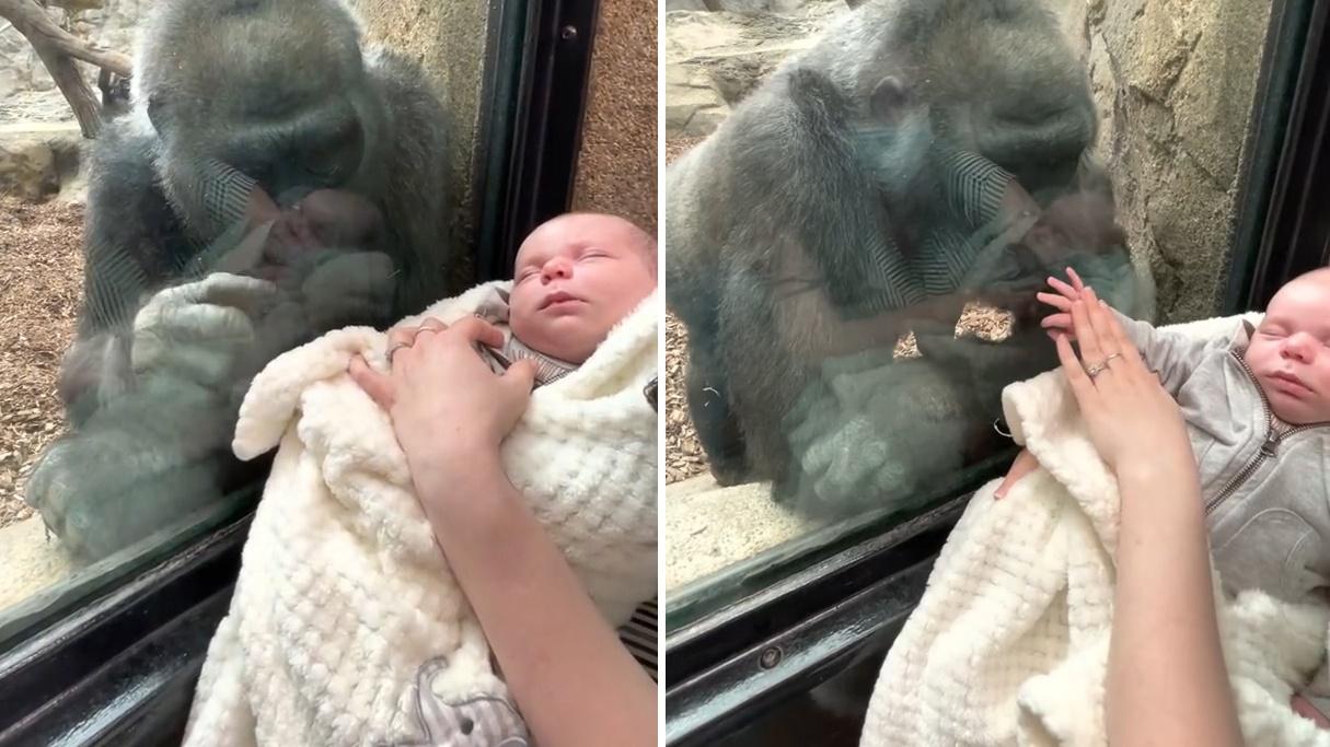 母爱是相通的!雌大猩猩深情注视5周大婴儿 隔着玻璃舔孩子