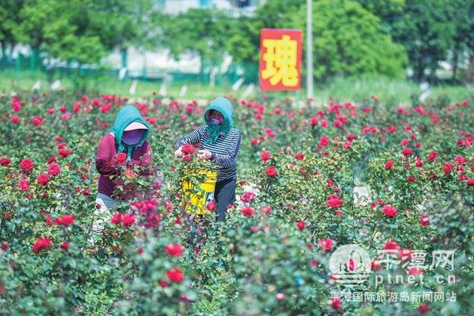 东崑村玫瑰产业示范园助力平潭乡村振兴