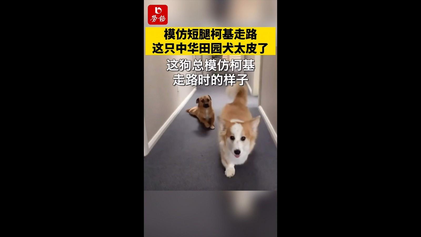 模仿短腿柯基走路,这只中华田园犬实在是太皮了