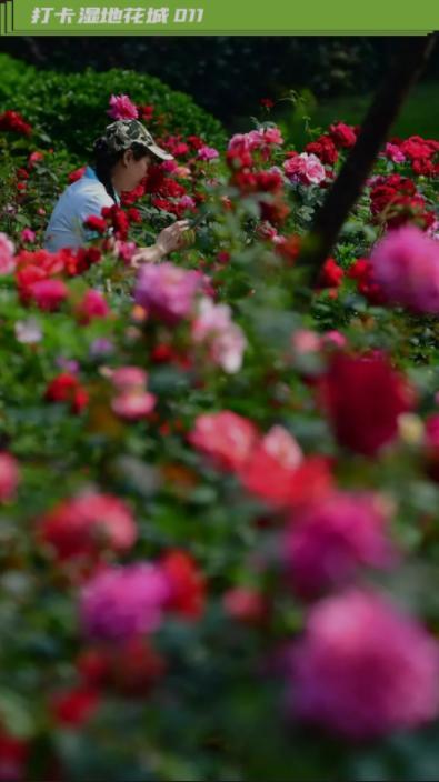 总书记称赞的南阳月季,在武汉也开成花海