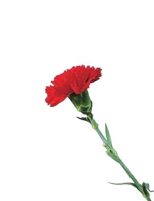 我要送您一朵花(图)
